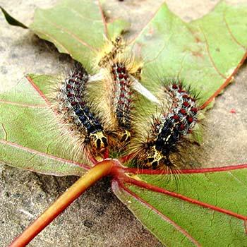 Pests image: <i>Lymantria dispar dispar </i> (LDD)